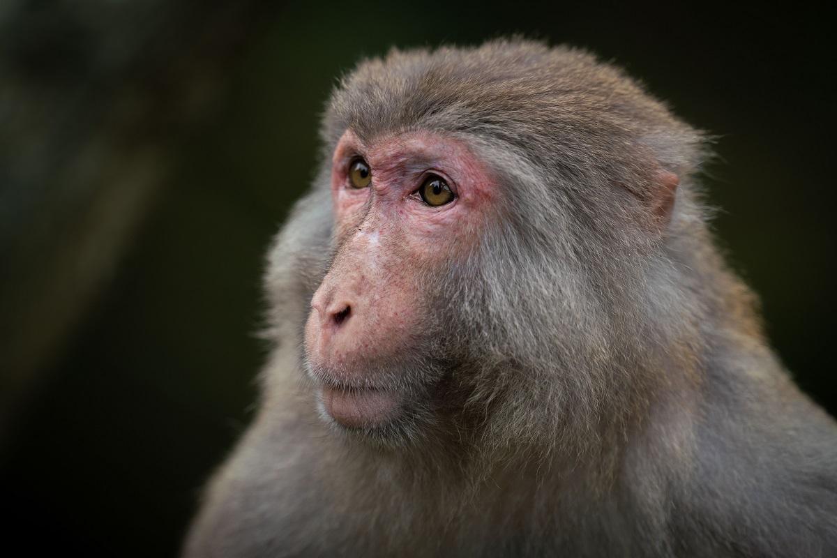 Chinês morre vítima da raríssima herpes B, que é transmitida por macacos